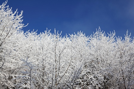 Snow-covered tops of the trees against the bright blue sky  photo