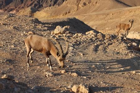 Familias cabras salvajes de montaña en piedra magnífico del desierto. Israel, montañas de Eilat, Costa del mar rojo Foto de archivo - 8427568