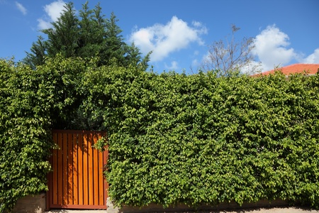 Yellow wooden gate in the high hedges photo
