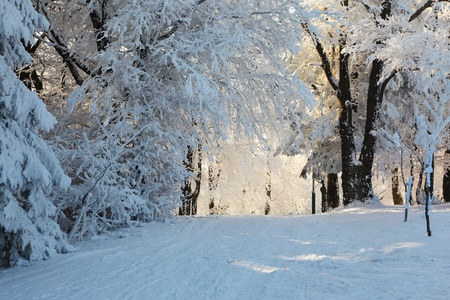 Christmas morning. Snowy winter forest and knurled wide trails.  Stock Photo