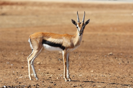 A graceful Gazelle Thomson with striped horns nicely posing for a photograph photo