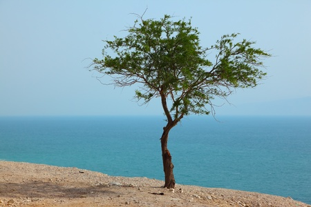 Picturesque tree on dry cliff above the Dead Sea photo