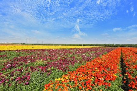Vast fields of flowers of buttercups  Flowers are grown for export  Magic spring Stock Photo - 13291144