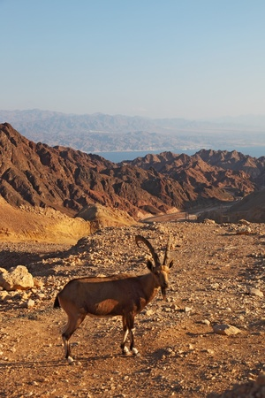 Wild mountain goat in picturesque stone desert  Israel, mountains of Eilat, coast of Red sea photo