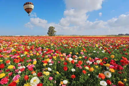 Spring  in Israel.  Bright striped balloon flies over a field of colorful garden of buttercups. Stock Photo