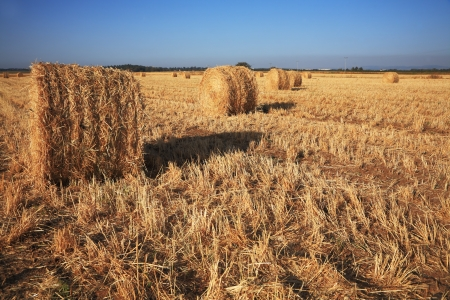 rick: Field after harvest  Rick gathered wheat left to dry in the sun  Sunset Stock Photo