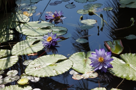 Large pond overgrown with flowering water lilies Stock Photo - 14287098