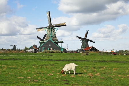 Charming Dutch pastoral. White lamb are peacefully grazed on a juicy grass against windmills. photo