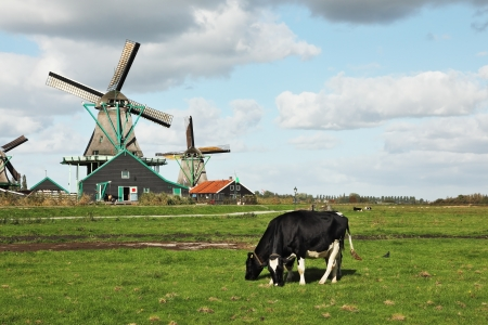 Cows grazing on lush grass not far from the windmills  Charming Dutch pastoral photo