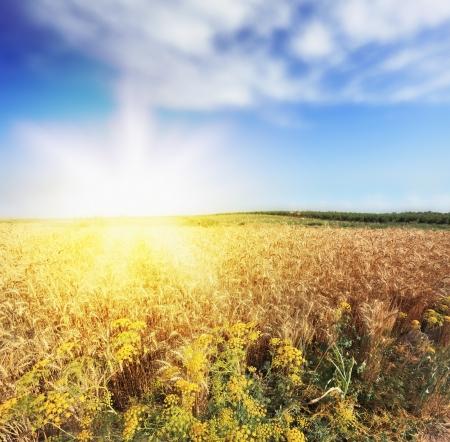 Bright rays of sunlight illuminate a field of ripe wheat photo