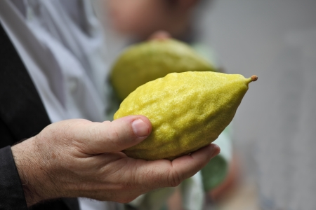 sukkoth: Beautiful large male hands hold a ritual Citron fruit for the Jewish holiday of Sukkot