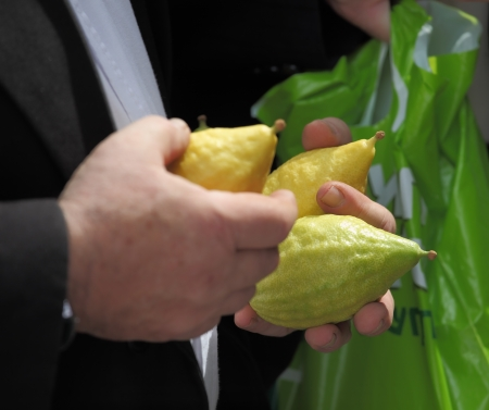 brak: Beautiful large male hands hold a ritual Citron fruit for the Jewish holiday of Sukkot