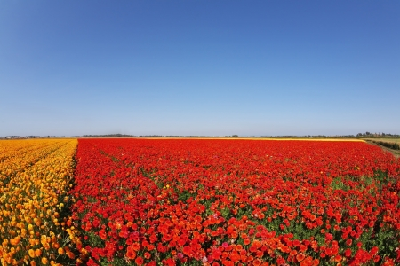 Huge field blossoming red and yellow buttercups and the pure blue spring sky Stock Photo - 16311564