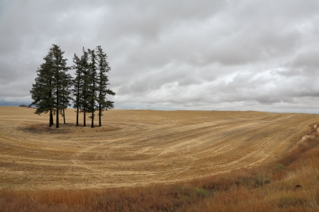 swaying: Montana field after harvest. Several pine trees swaying in the wind and waiting for rain