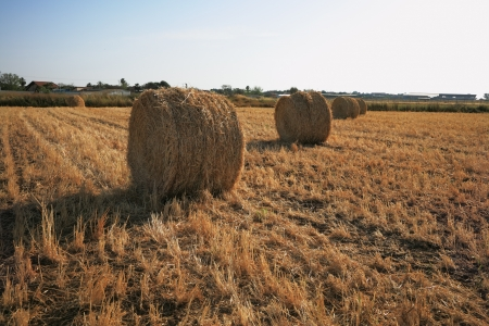 Field after harvest. Rick gathered wheat left to dry in the sun