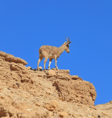 nature reserves of israel: Wild mountain goat against the blue sky