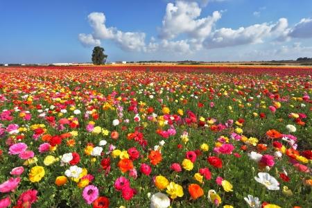 The magnificent garden buttercups. The boundless field, blooming colorful garden buttercups Standard-Bild