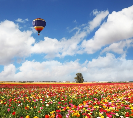 The huge bright balloon flies above a picturesque field of colorful blooming ranunculus photo