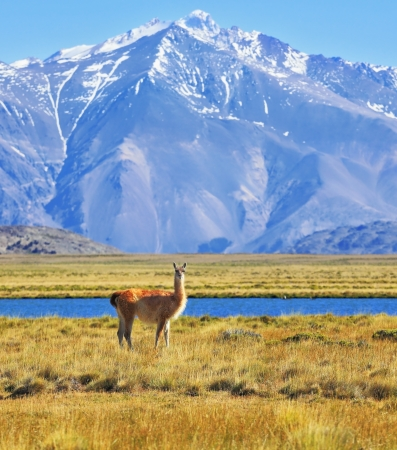 Yellow field, blue lake and snow-capped mountains. On the banks of grazing llama. Argentine Patagonia, Perito Moreno National Park photo