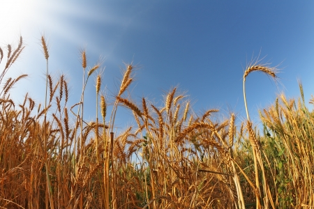 Field of ripe wheat at sunset. Soon the harvest festival
