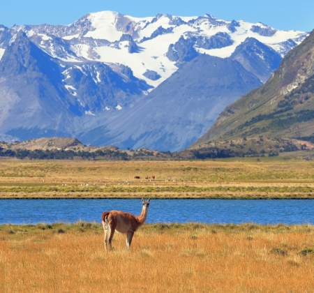 snowcapped: Argentine Patagonia. Yellow field, blue lake and snow-capped mountains. On the banks of guanaco grazing