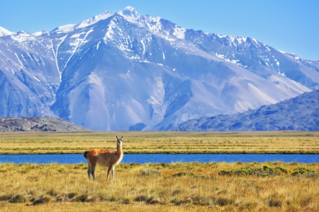 Argentine Patagonia. Yellow field, blue lake and snow-capped mountains. On the banks of grazing llama.  Perito Moreno National Park photo