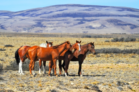 Patagonian pampas on a summer day. The herd of wild mustangs photo