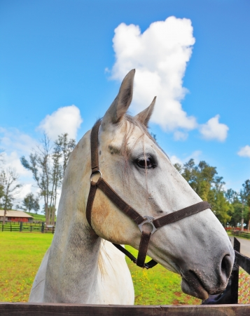 The beautiful head of a white horse on a green lawn. Riding school and breeding of purebred Arabian horses photo