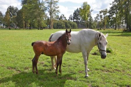 Das Pferd mit dem Fohlen. Reitschule und Zucht von Vollblutpferden. Grüner Rasen zum Wandern arabischer Pferde