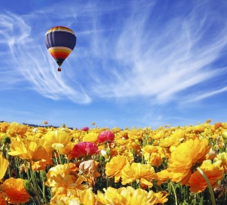 Beautiful spring weather, beautiful big balloon flies over the field. The huge field of white, red and orange buttercups (Ranunculus asiaticus). The picture was taken Fisheye lens photo