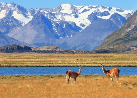 Patagonia  Harmonious landscape - yellow field, blue lake and snow-capped mountains  In the foreground are grazing guanaco photo