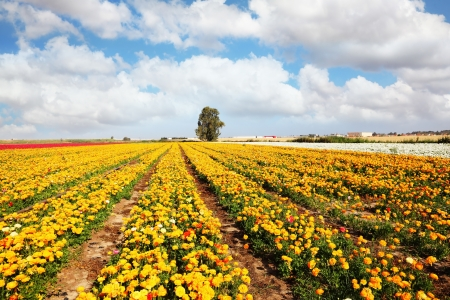 buttercups: Beautiful fields of large colorful ranunculus grow in the southern country  Spring flowering