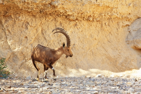 nature reserves of israel: Wild goat with huge horns in a dry mountain canyon