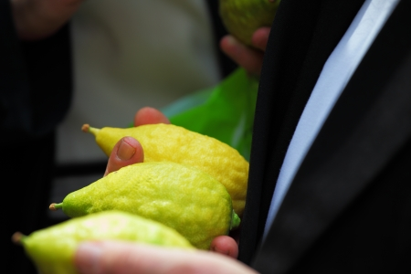 Religious Jew chooses ritual plant - citron- on the bazaar on the eve of Sukkoth. September 22, 2010, Sukkoth market, Bene Brak, Israel photo