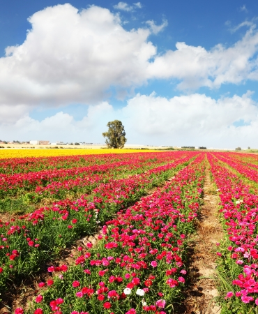 kibbutz: Spring flowering. Huge fields of peony garden buttercups grow in the southern country.