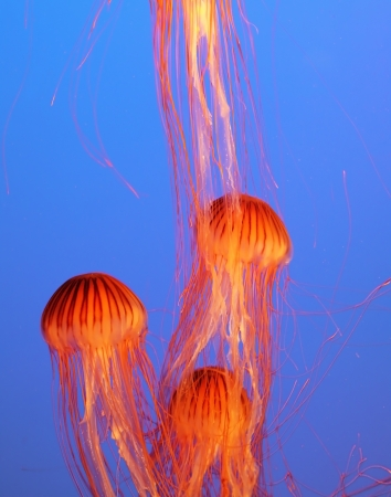 Three yellow-orange jellyfish with thin tentacles. Aquarium with bright blue water photo