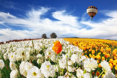 Huge kibbutz field of multi-colored buttercups. Beautiful spring weather, beautiful big balloon flies over the field.  photo
