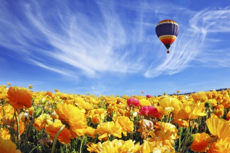 The huge field of white and orange buttercups  Ranunculus asiaticus   Beautiful spring weather, beautiful big balloon flies over the field  The picture was taken Fisheye lens photo