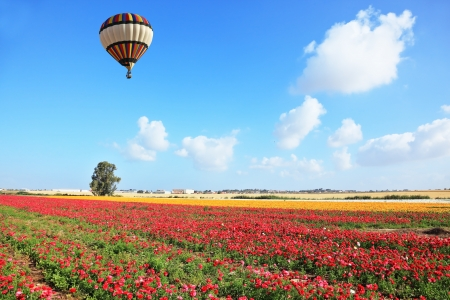 israel agriculture: Bright striped balloon flies over a field of colorful garden of buttercups. Spring Day in Israel.