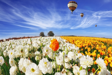 Beautiful spring weather, beautiful big balloon flies over the field. The huge field of white and orange buttercups (Ranunculus asiaticus). The picture was taken Fisheye lens photo