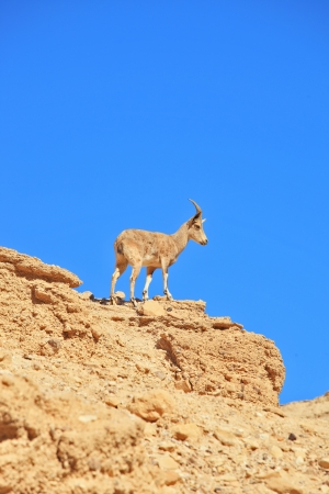 nature reserves of israel: A wild mountain goat prepares to jump Stock Photo