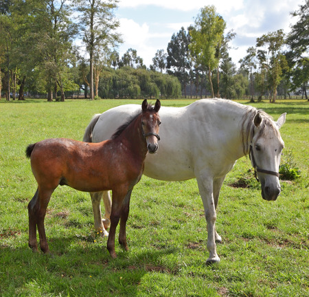 White horse with the bay foal. Riding school and breeding of thoroughbred horses. Green lawn for walking of Arabian horses photo