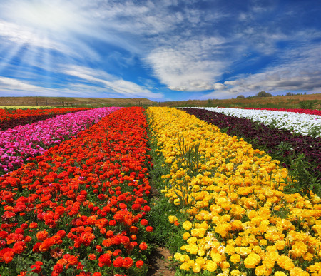 contrasting: Garden buttercups ranunculus  bloom bright contrasting colors picturesque lanes. Phenomenally beautiful multi-colored flower fields. Strong wind drives the clouds