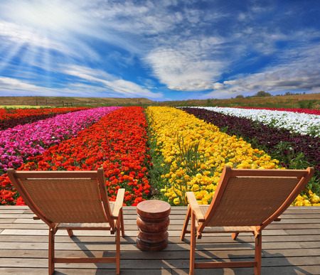 established: Very beautiful bright multi-colored flower fields. Commercial cultivation of flowers for sale abroad. On the edge of a field convenient wooden chaise lounges for tourists are established