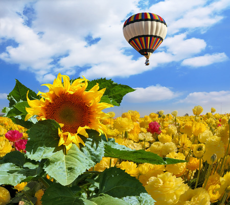 The huge multi-colored balloon flies in the cloudy sky over the kibbutz field. The field is sowed by blossoming garden buttercups and a picturesque sunflower photo
