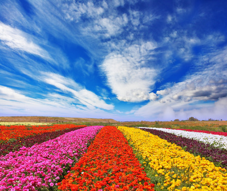 Phenomenally beautiful multi-colored flower fields. Garden buttercups ranunculus  bloom bright contrasting colors picturesque lanes. Strong wind drives the clouds photo