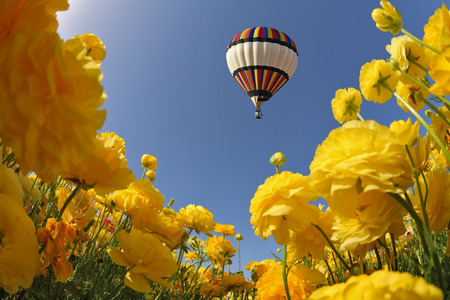 Picturesque field of beautiful yellow buttercups. In a clear sky flying multicolored balloon. Spring in Israel photo