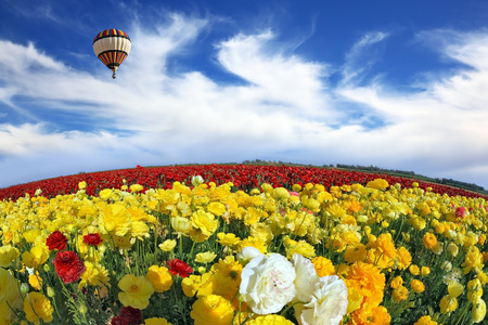 Wonderful spring mood, nice big balloon flies over the field  The huge field of red and orange buttercups  The picture was taken Fisheye lens photo