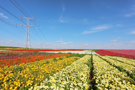 mains:  Huge fields with white buttercups  Along fields huge electric mains are built Stock Photo