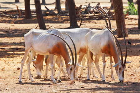scimitar: A herd of white wild goats scimitar horned oryx on a sunny summer day